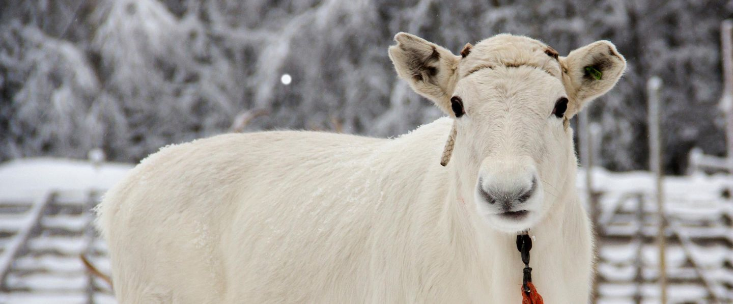 White reindeer at Konttaniemi Farm in Rovaniemi, Finland