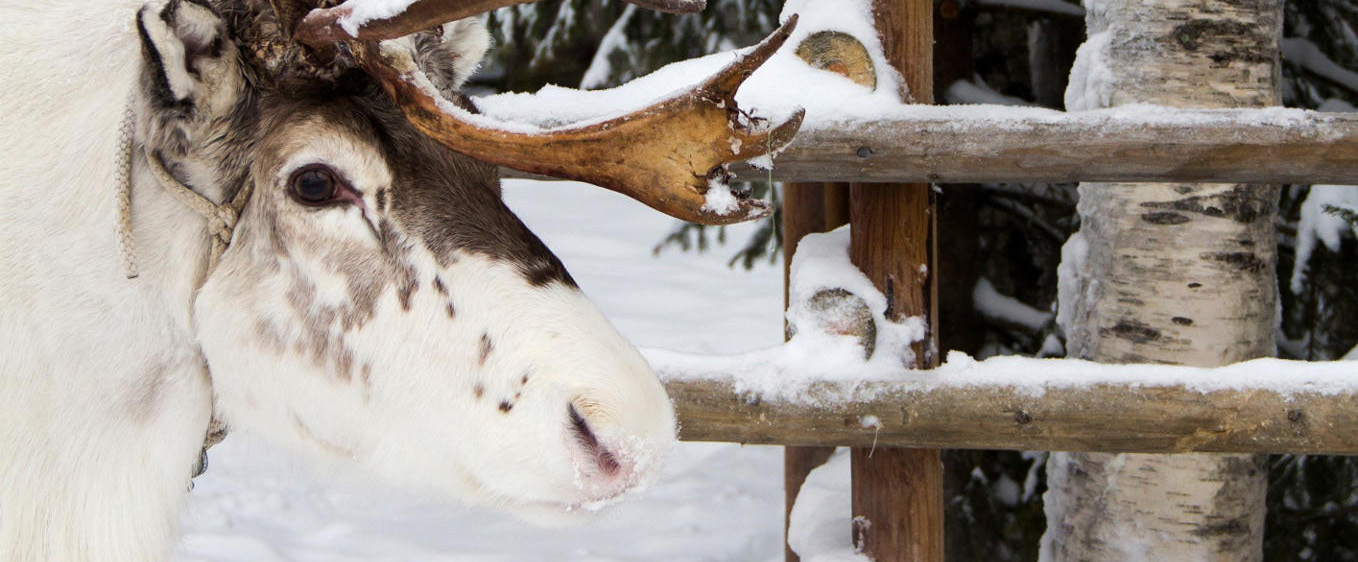 Reindeer waits by fence at Konttaniemi Farm in Rovaniemi Finland