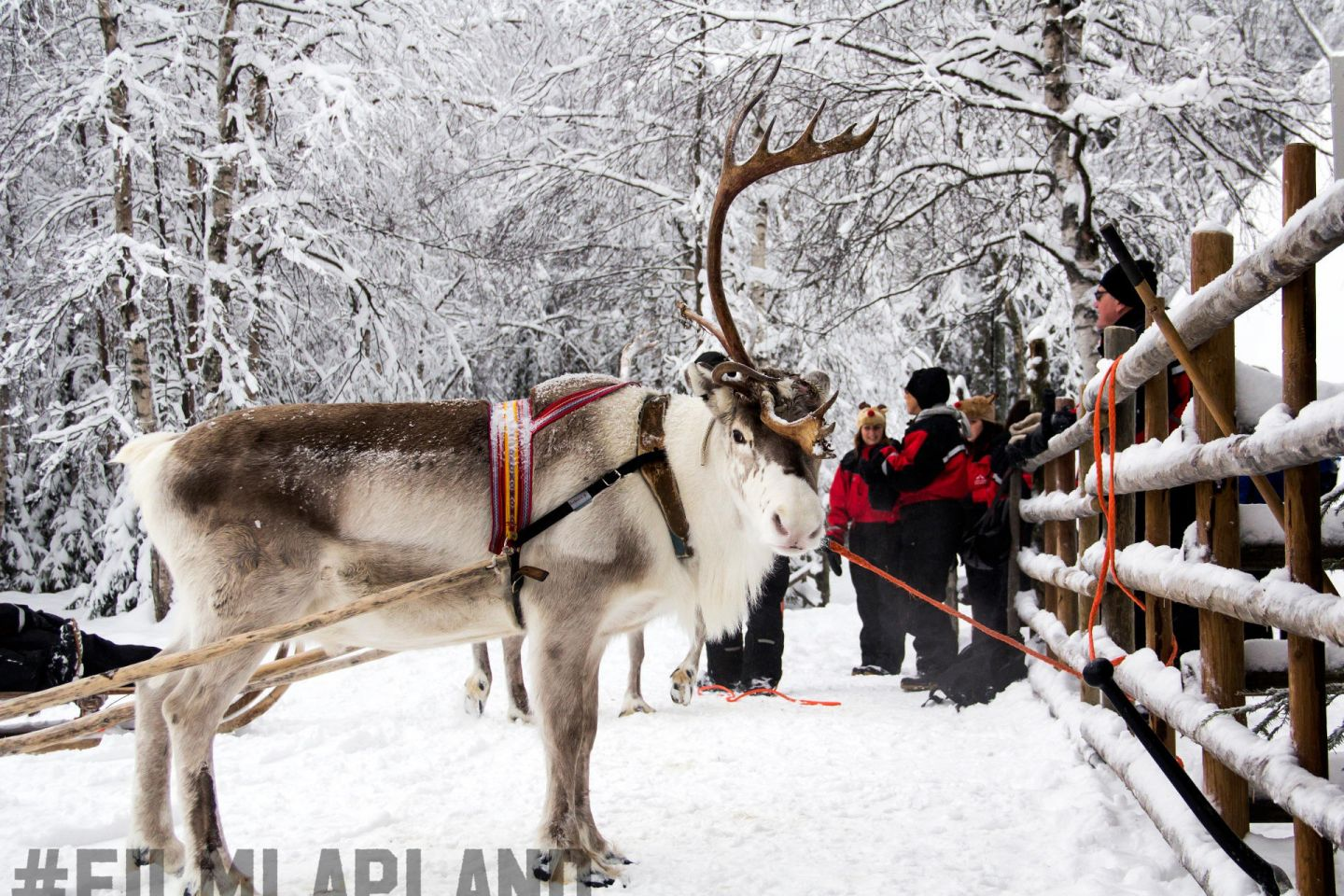 Reindeer waits by the fence at Konttaniemi Farm in Rovaniemi, Finland