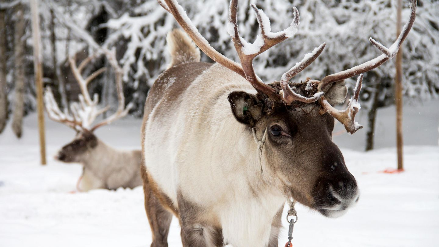 Reindeer at Konttaniemi Farm in Rovaniemi Finland