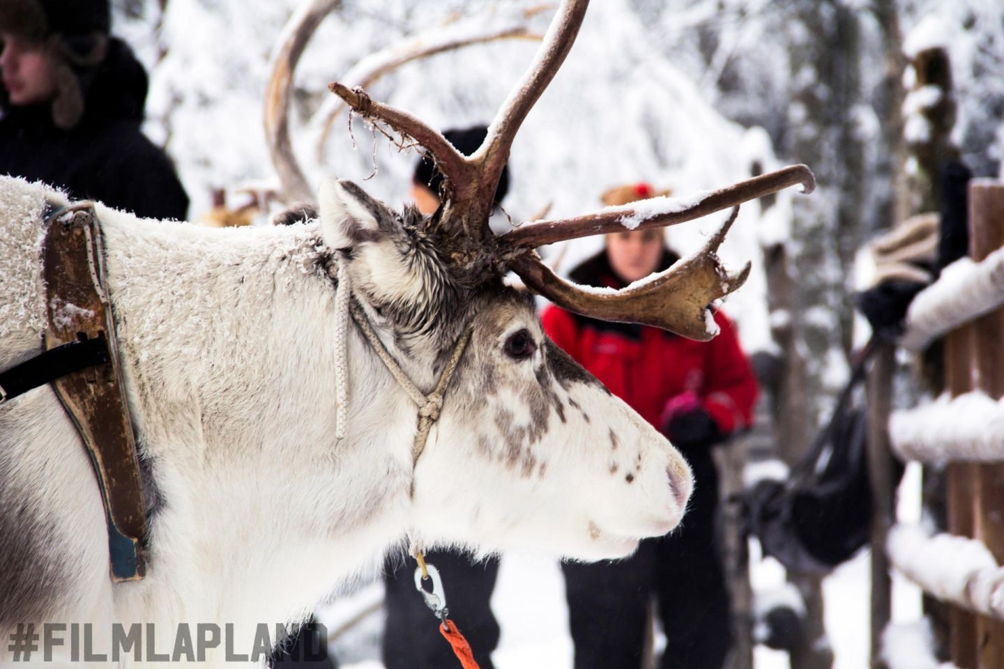 Reindeer waiting for a ride at Konttaniemi Farm in Rovaniemi, Finland