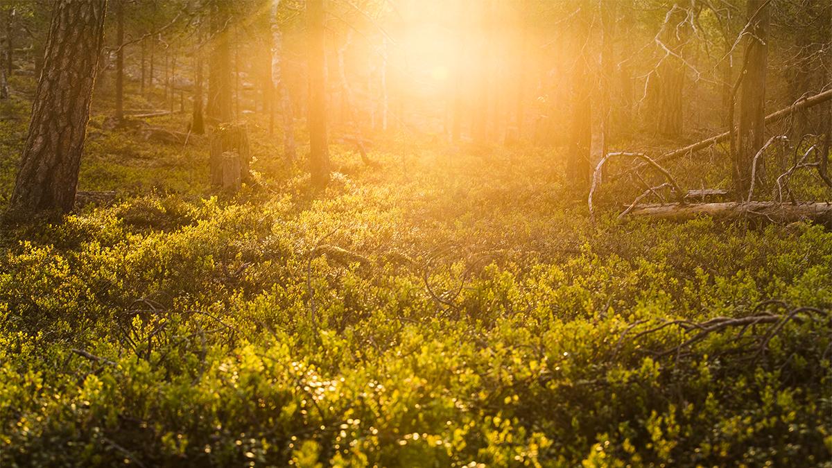 Summer in Lappland, golden hour