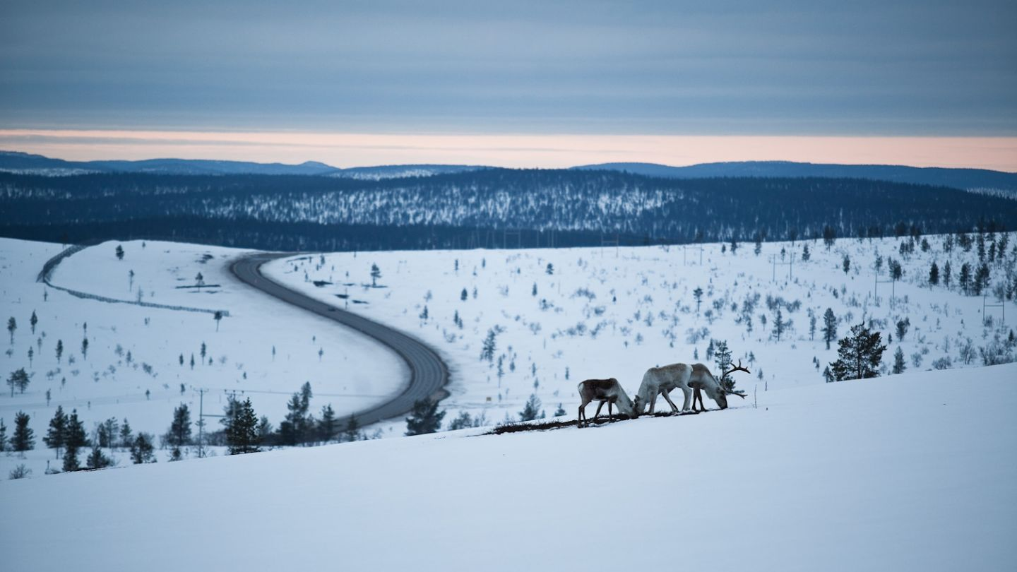 Reindeer in a snowy Lapland field | accessible wilderness location
