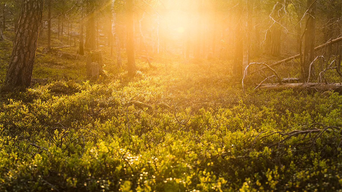 Summer sun in a Lapland forest