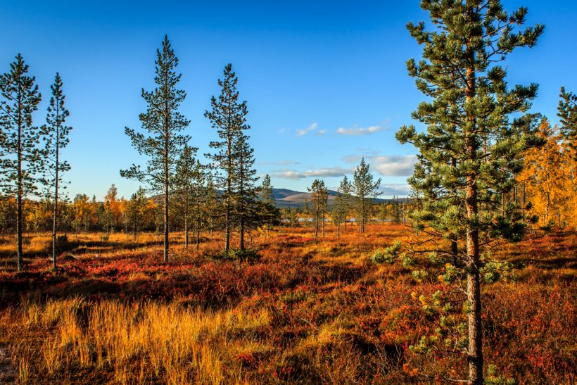 Later summer forest in Lapland's national parks
