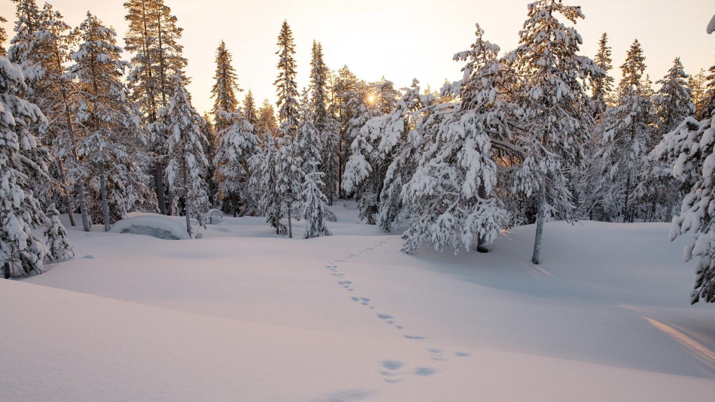 hare tracks in Lapland in winter
