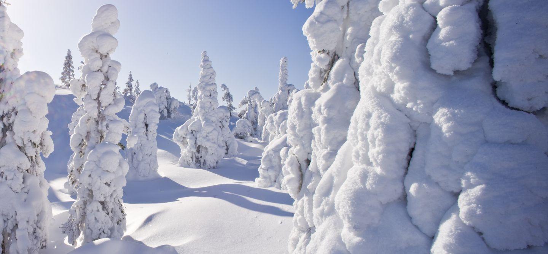 Snowy trees in Finnish Lapland