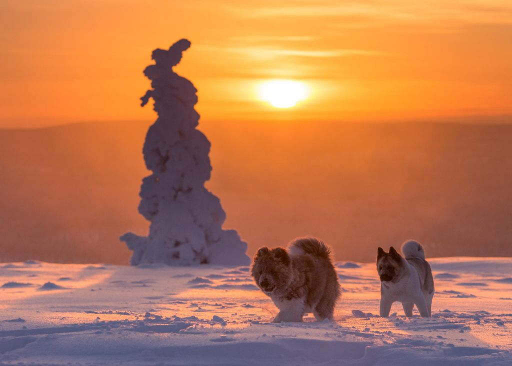 fluffy snow dogs in Lapland wilderness