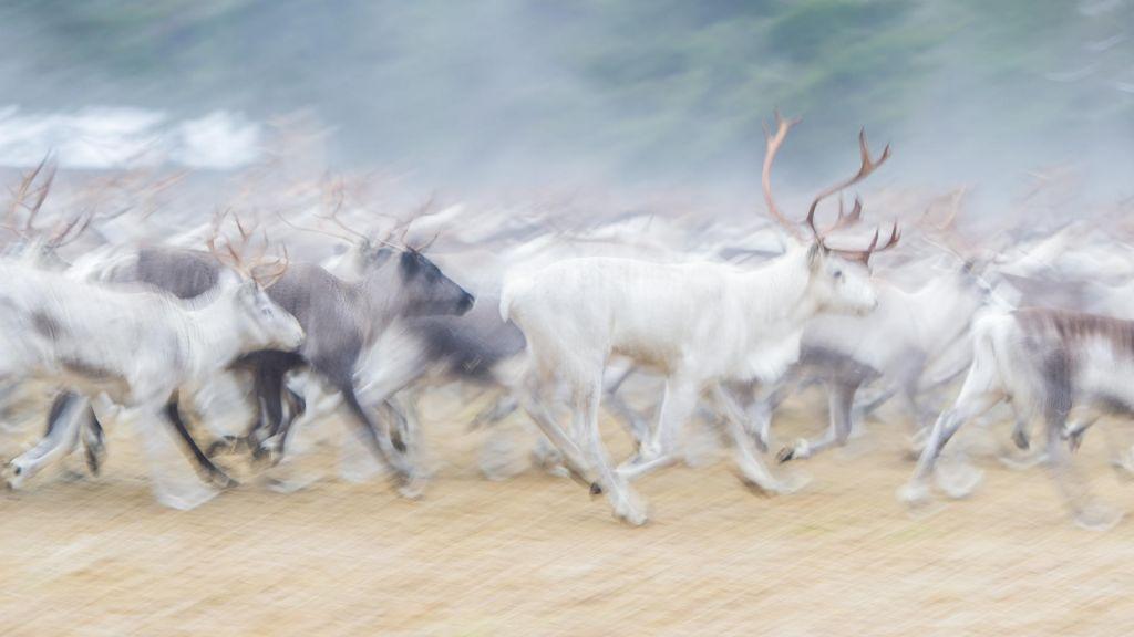 Reindeer painting-like photograph