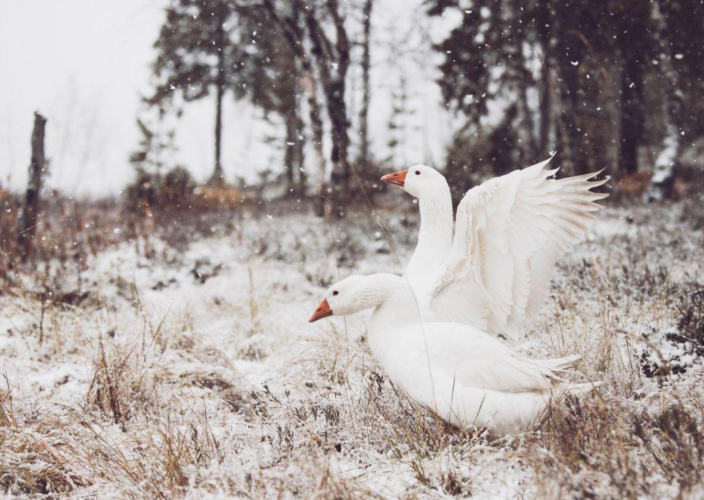 swans in Lapland