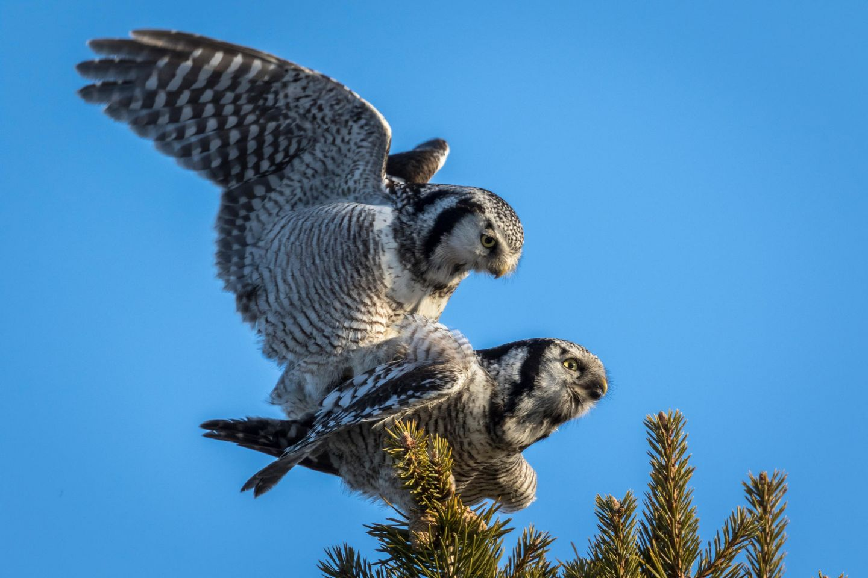 Owls in Lapland