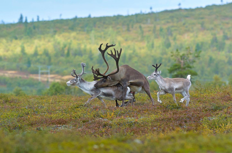 Reindeer mating in Lapland