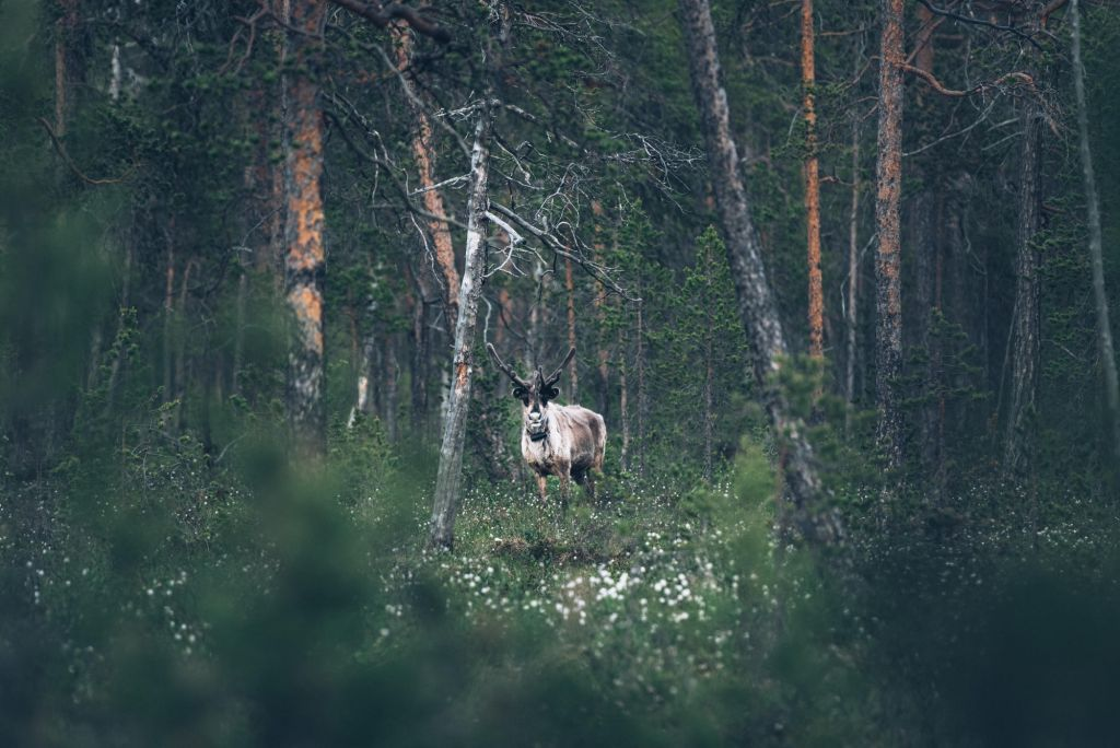 reindeer in the forest | lapland nature photography