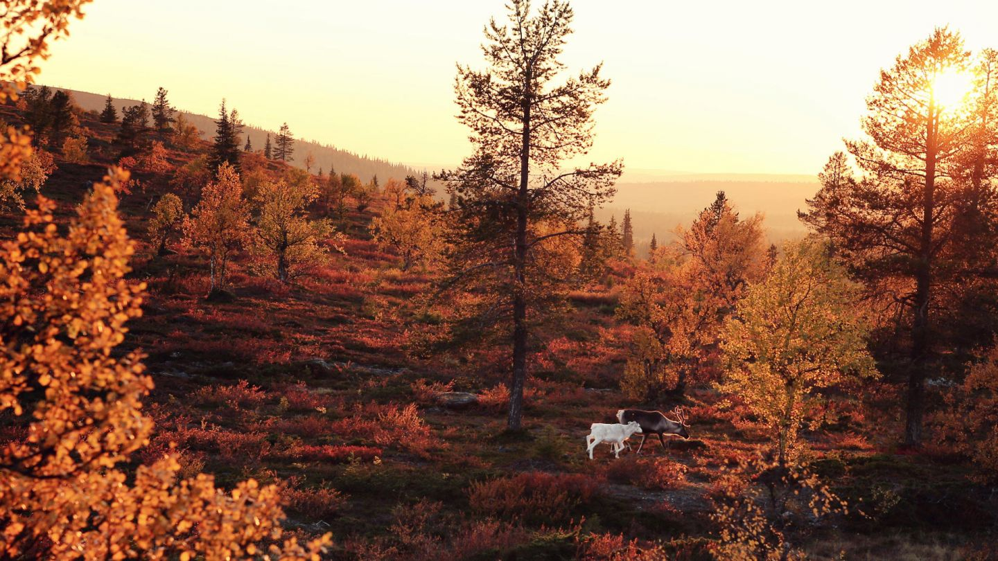 Dog in forest in Lapland