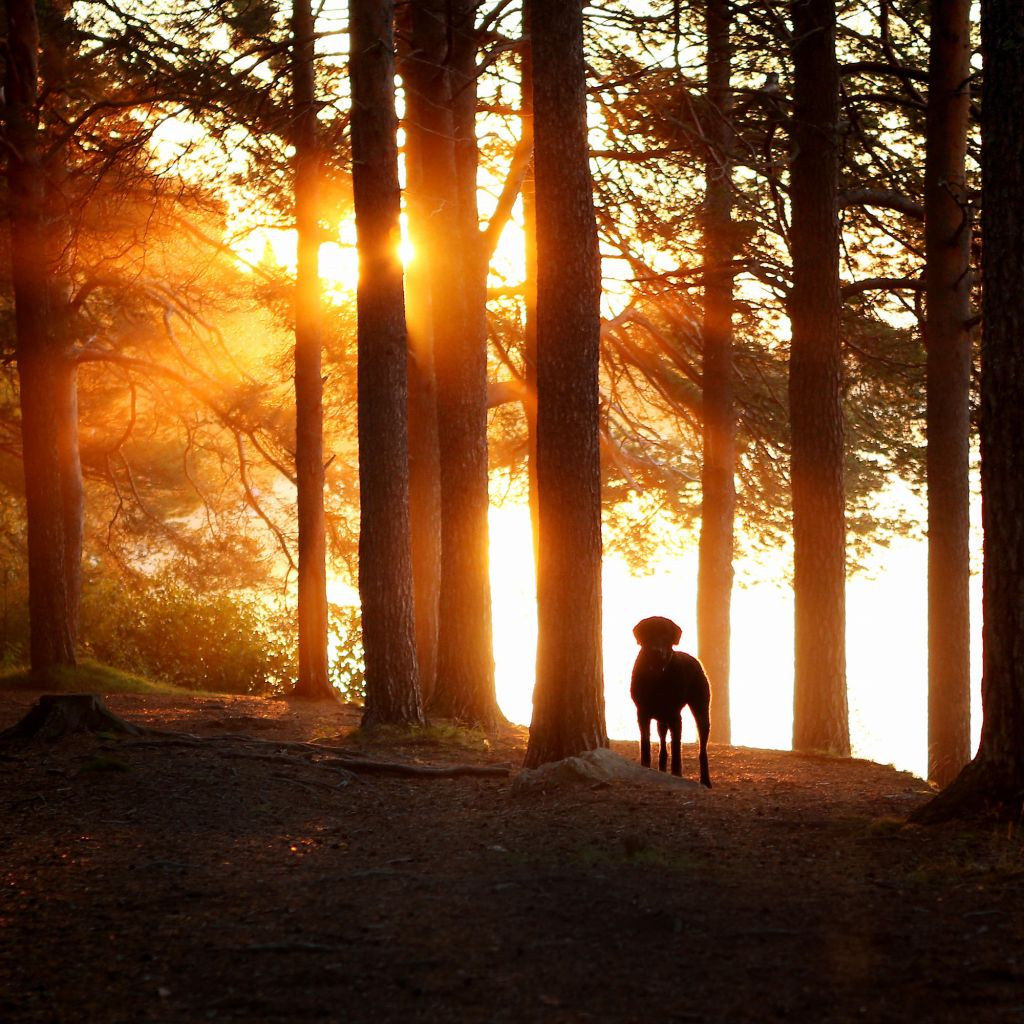 Dog in a sunlit forest in Lapland
