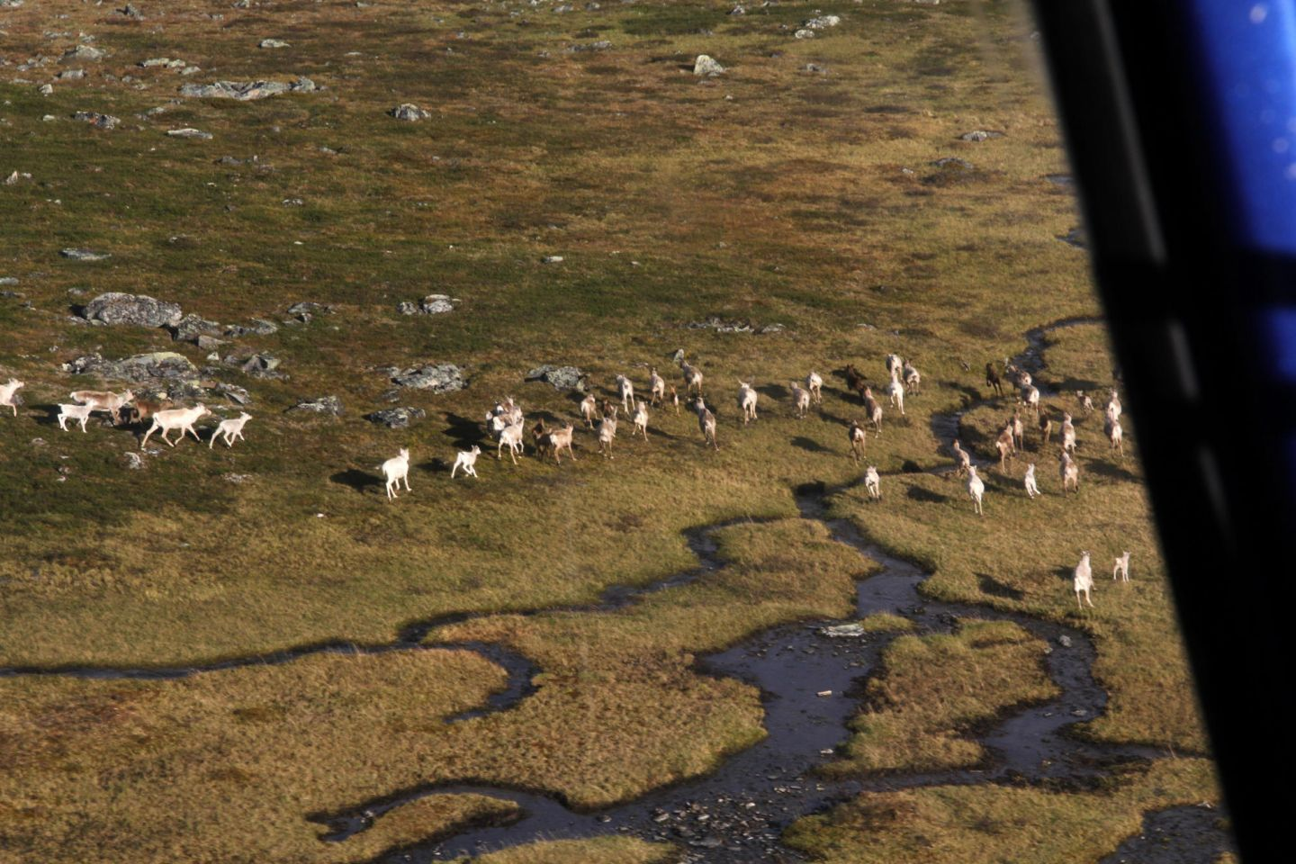Reindeer herd captured by air