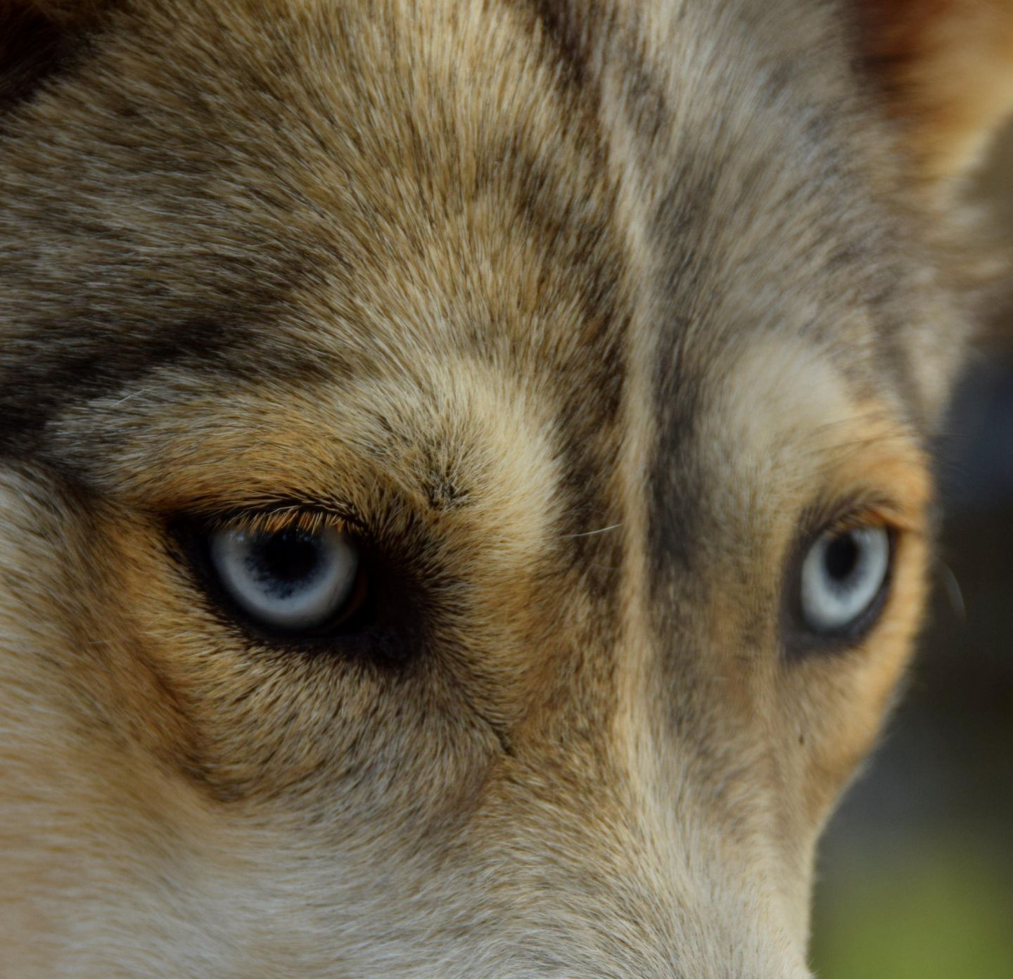 Husky close-up