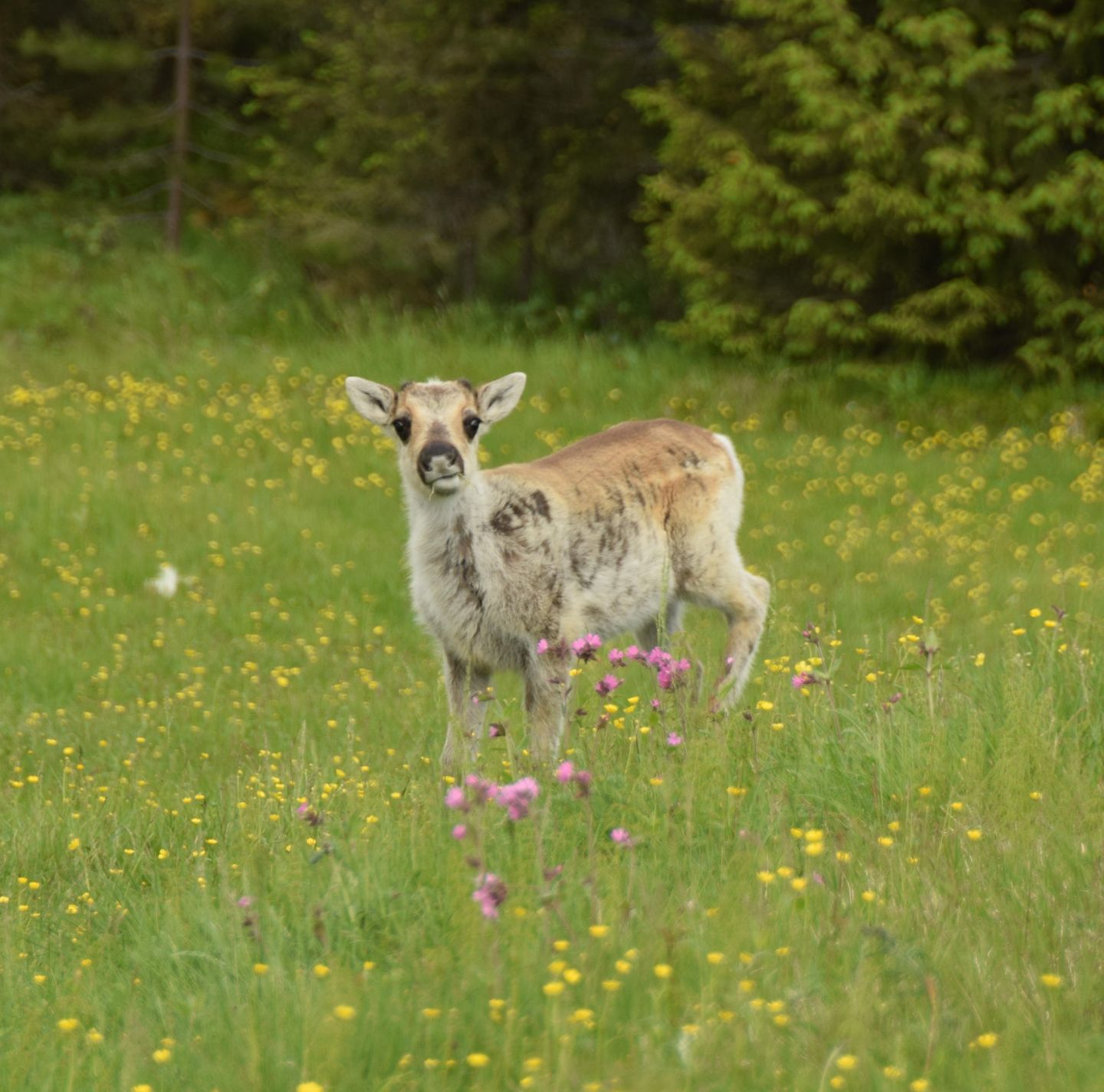 reindeer calf in summer field