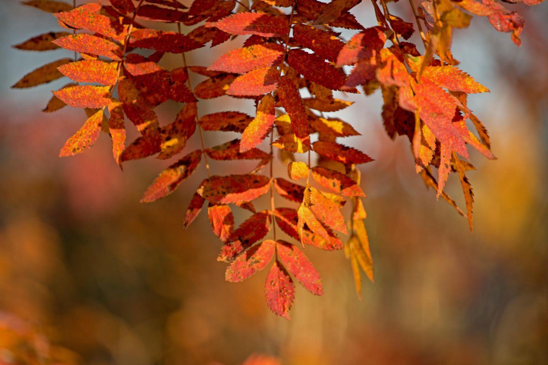 Autumn leaves in Lapland, Finland