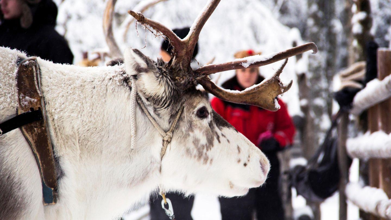 Reindeer at Konttaniemi Farm in Rovaniemi in Finnish Lapland