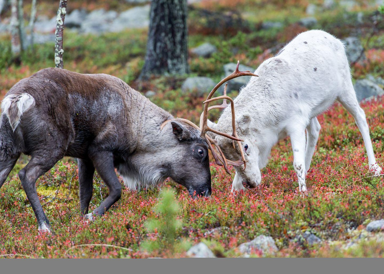 Reindeers fighting