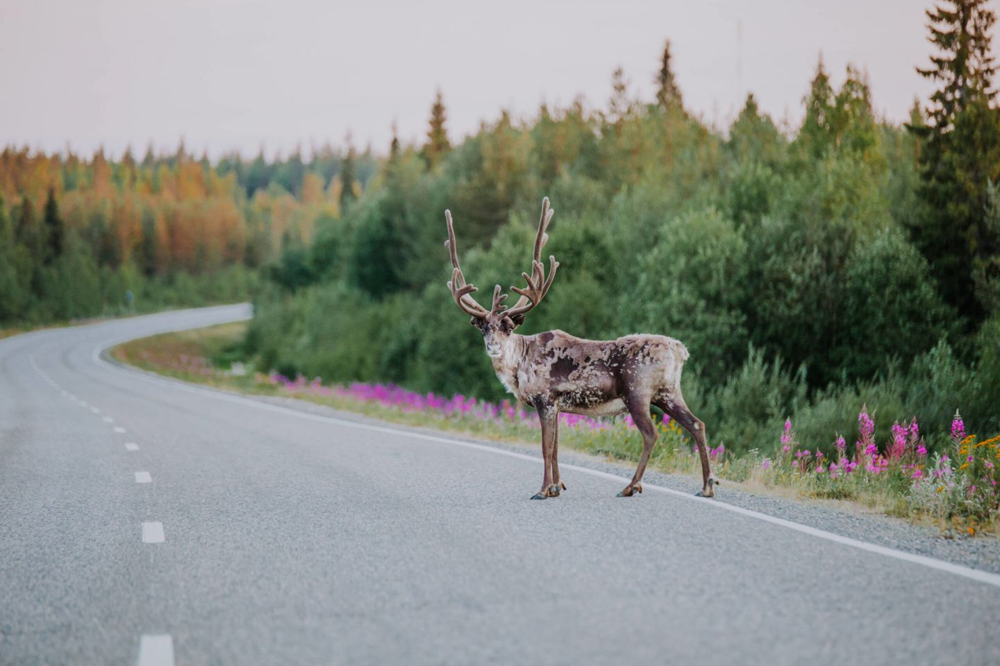 Reindeer on the road in Finnish Lapland
