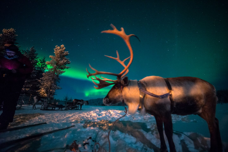 Northern Lights over a reindeer in Salla, Finland