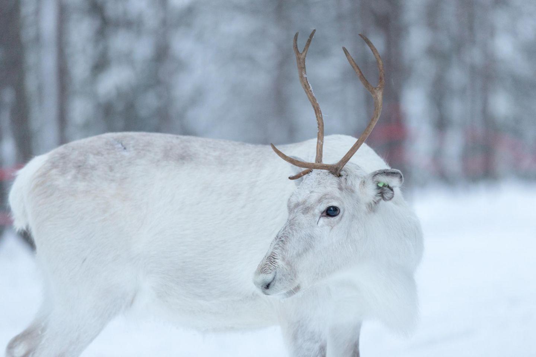 White reindeer on a Sami farm