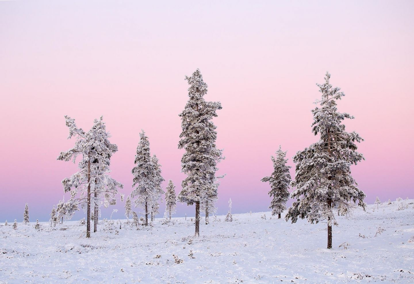 pink Polar night & snowy forest