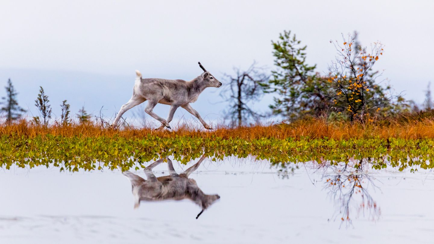 Reindeer in autumn, Lapland winter holiday, Posio