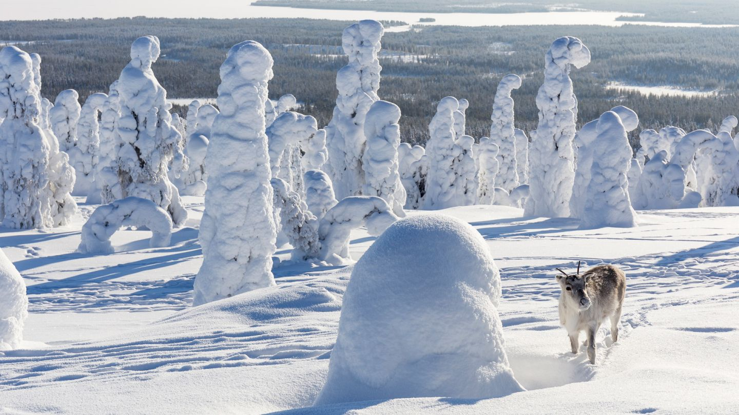 Reindeer in Riisitunturi, Lapland winter holiday, Posio