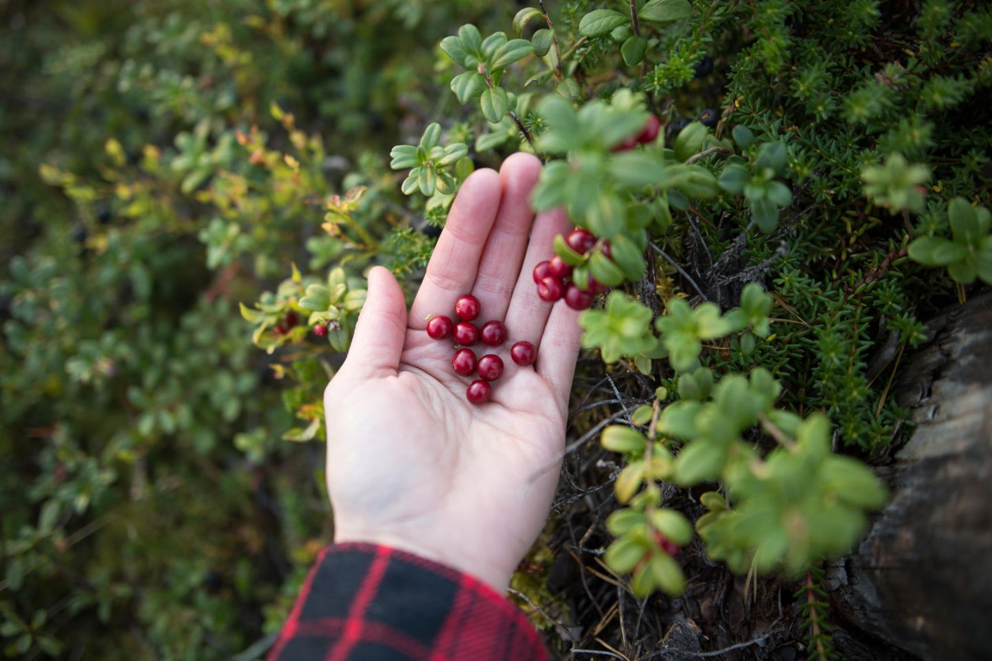 wild berries from Lapland