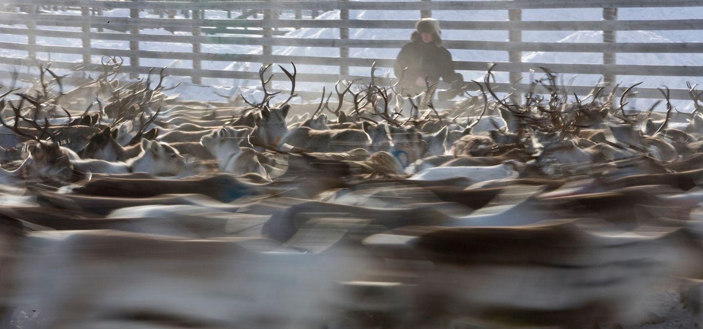 Reindeer culture lapland