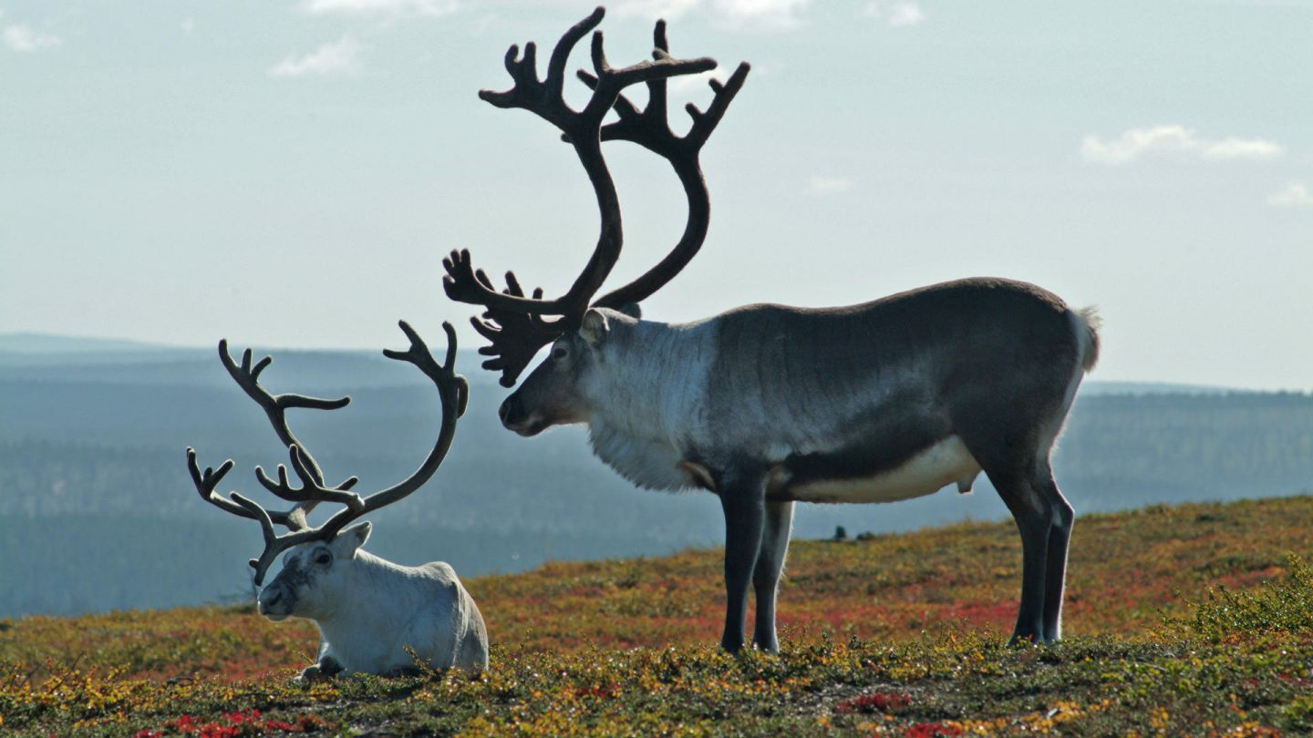 Two reindeer relax on a Lapland fell in summer