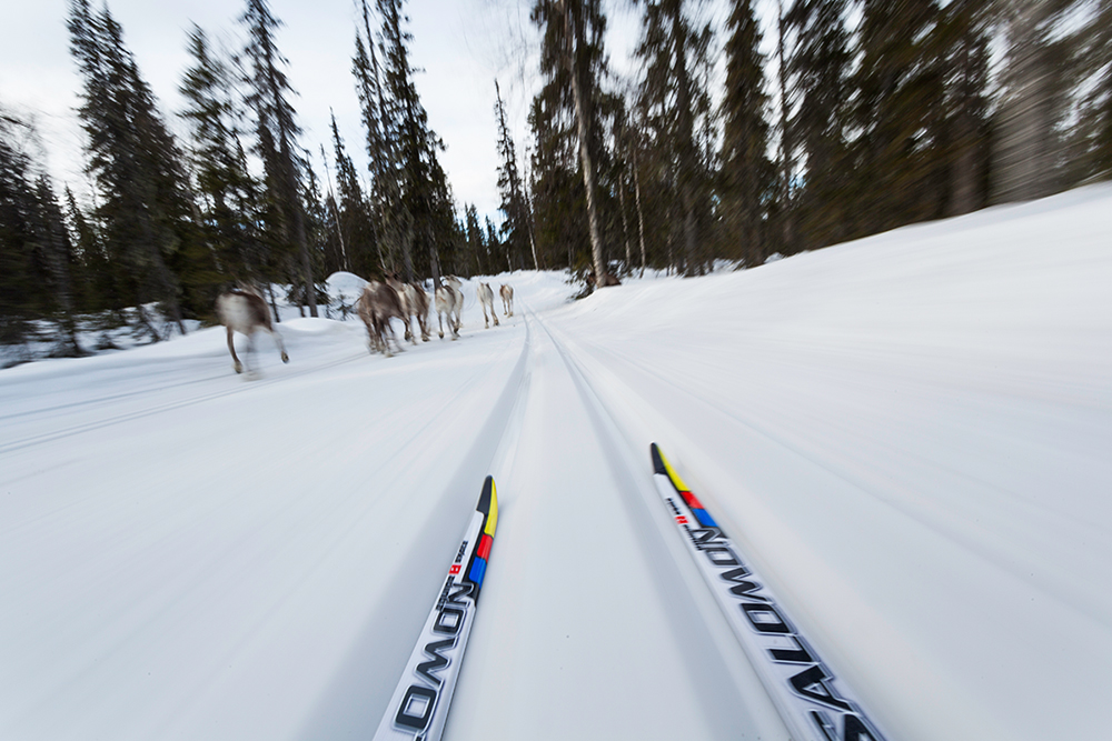 Cross-country skiing through a Lapland forest