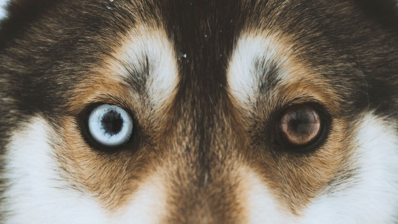 Husky in Salla Finland