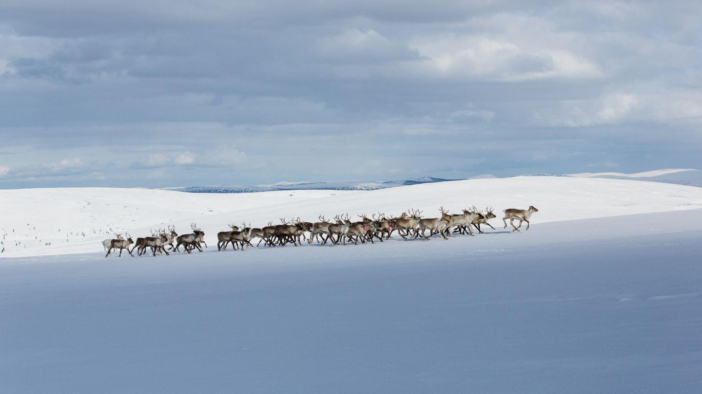 Reindeer in Saariselka Inari Finland