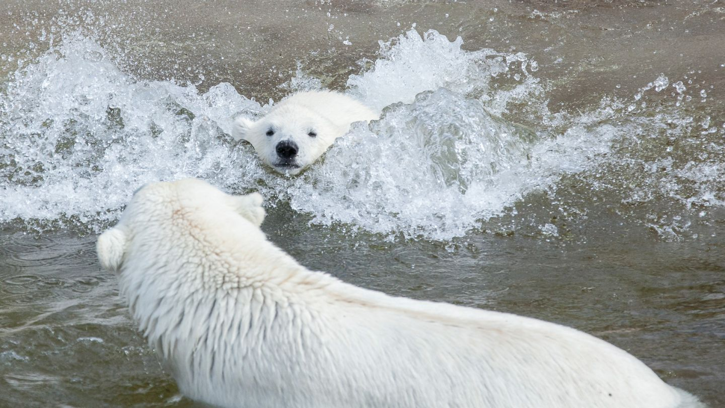 Finland's polar bears enjoying the water at Ranua Zoo in Lapland