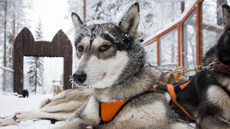 Husky in Ranua Lapland