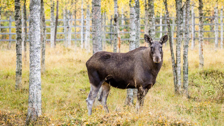 Autumn moose in Ranua zoo, Lapland