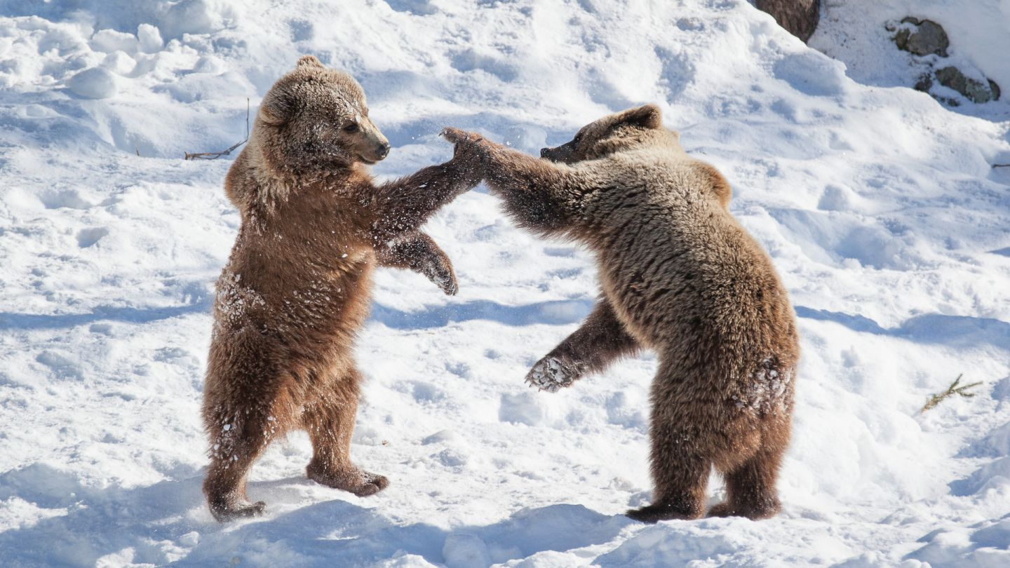 Bears high-fiving at Ranua Wildlife Park in Lapland, Finland