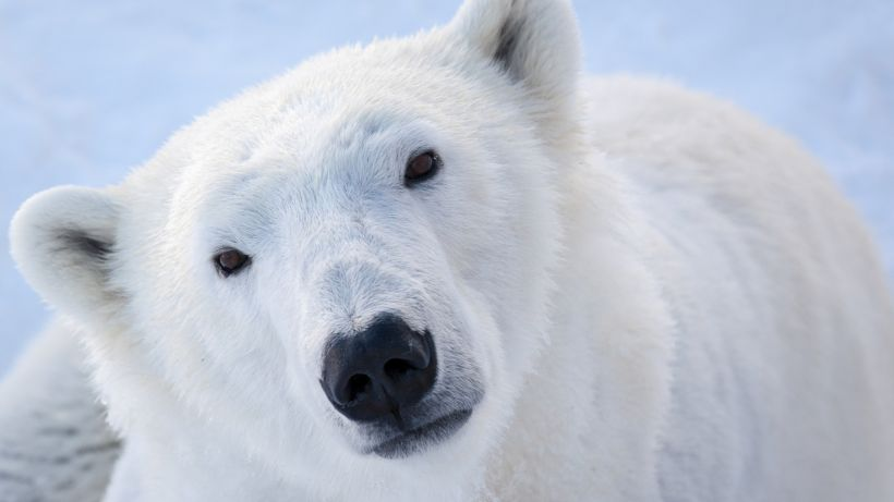 Polar bear in Ranua, Lapland