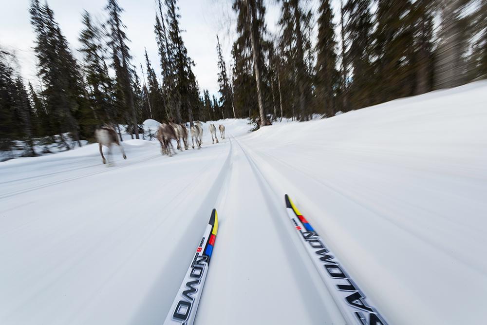 cross country skiing behind a herd of reindeer