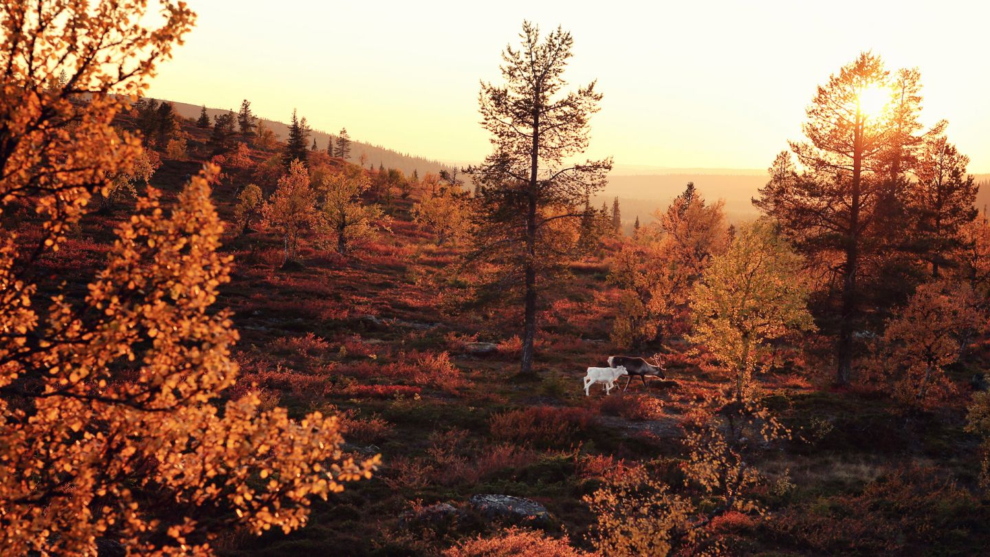 Autumn foliage on the hills of Muonio, Lapland, Finland