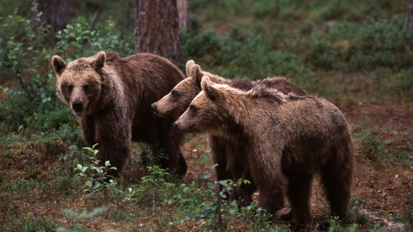 brown bears in Ruka, Lapland, Finland