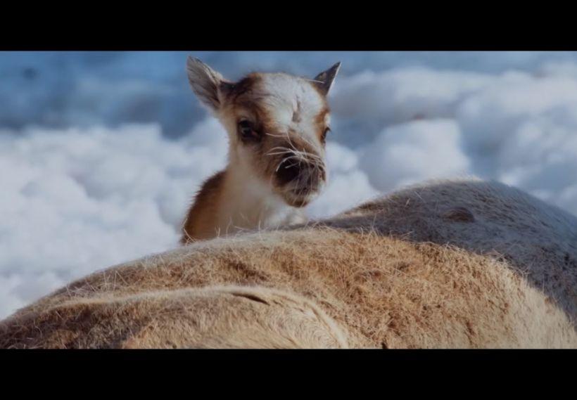 Newborn Ailo reindeer