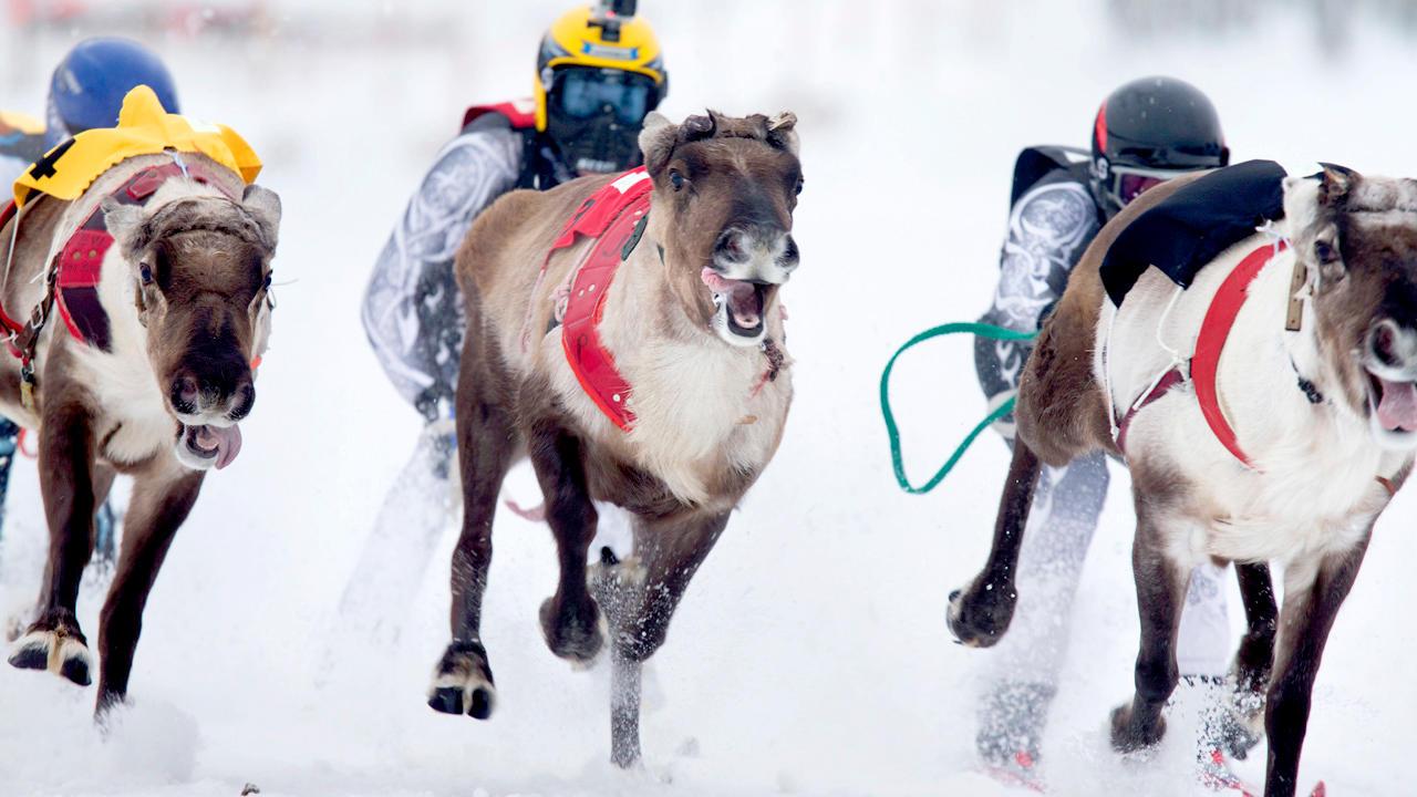 reindeer race in Rovaniemi, Lapland