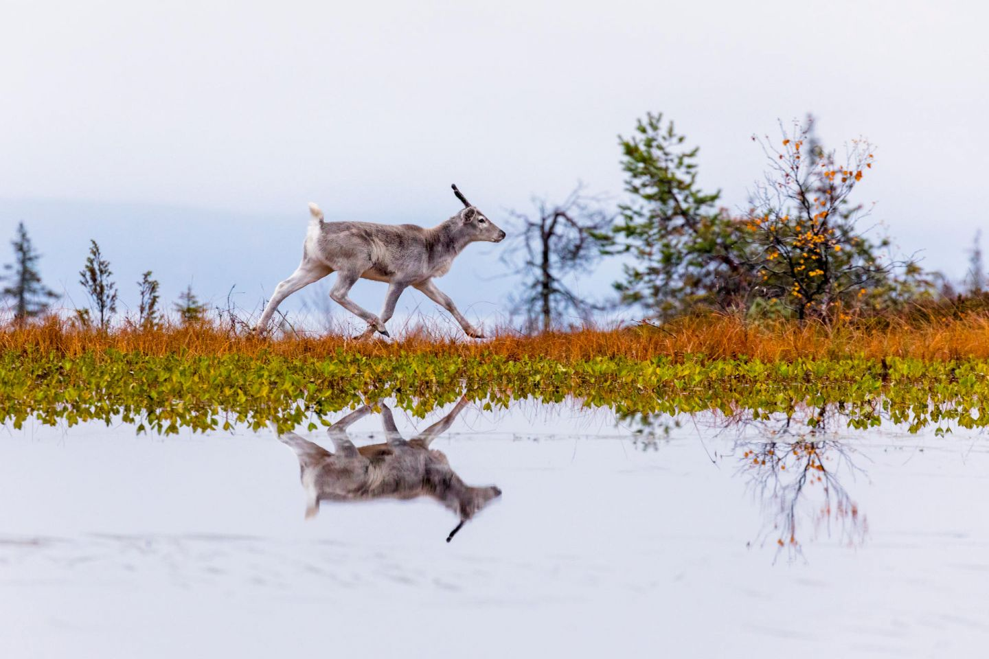 Reindeer reflected in Arctic lake, making of Ailo's Journey in Lapland