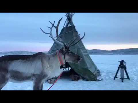 Reindeer with a tipi
