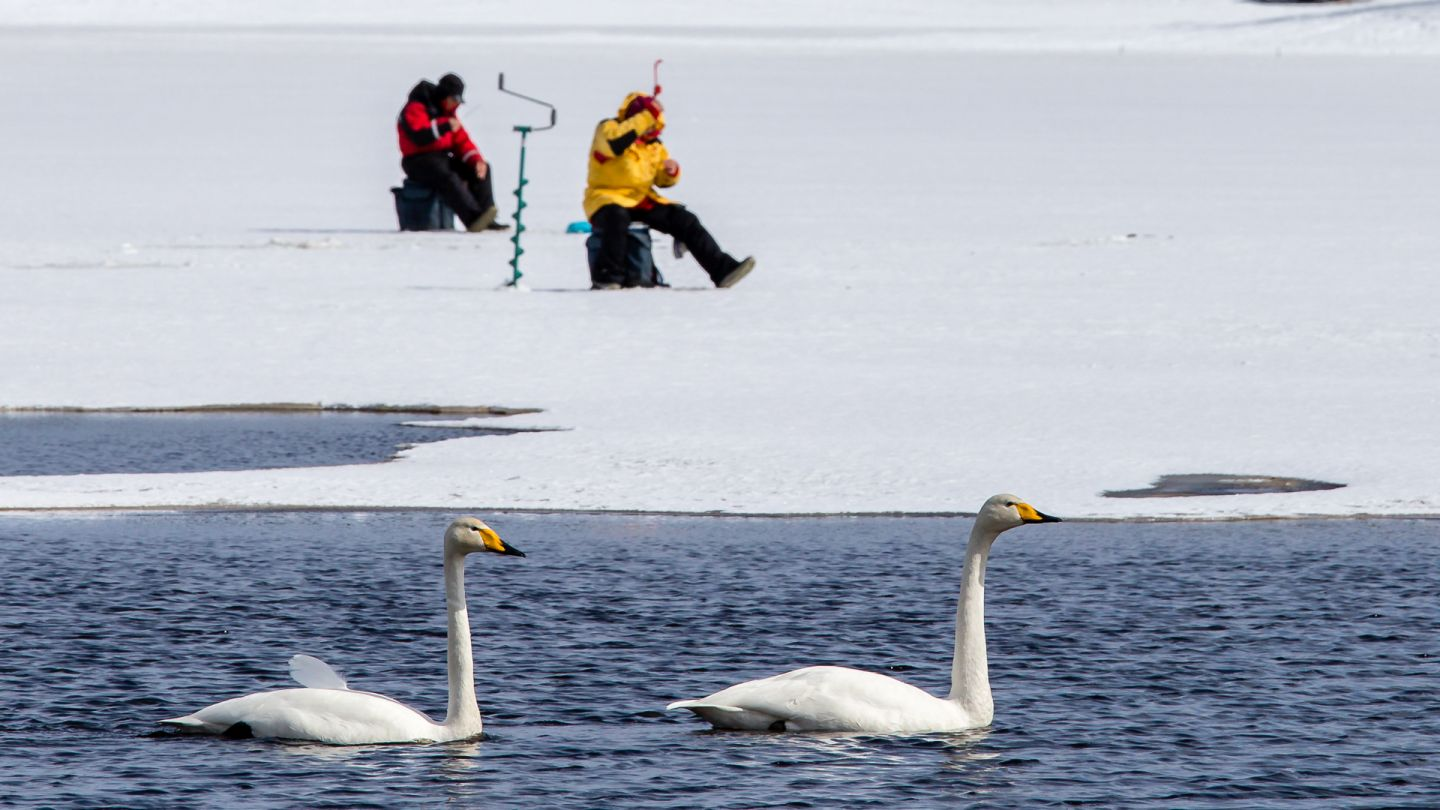Ice-fishing and swans at Kemijärvi Finnish Lapland